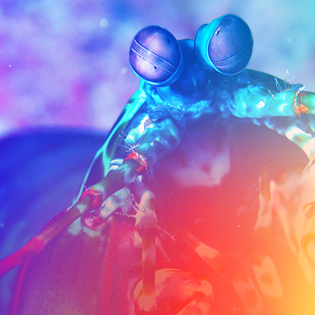 Undersea Visionaries: How the Mantis Shrimp is Changing the Way We See the World