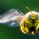 Take it from the bees: Visual guidance in contradictory pathfinding scenarios